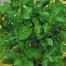 Plante aromatice de la Dor de Verde