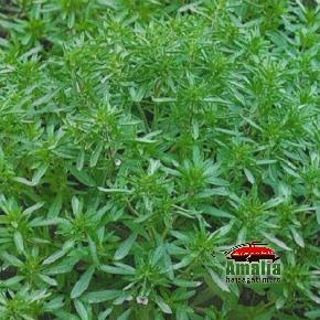 Plante aromatice de la Dor de Verde (KP5173 seminte de cimbru1 290x290)   imagine reteta