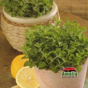 Plante aromatice de la Dor de Verde (KP5641 oregano grecesc 290x290)   imagine reteta
